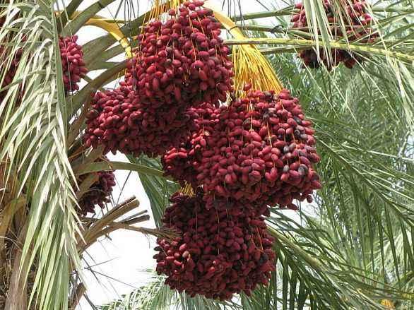 阿联酋椰枣批发18638660915