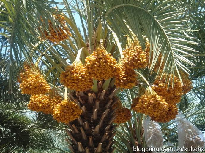 中东椰枣批发18638660915